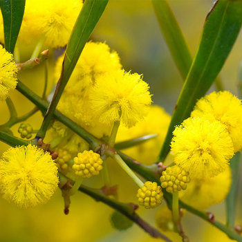 Đẹp kiêu sa nhan sắc nàng thơ mùa xuân - mimosa Đà Lạt