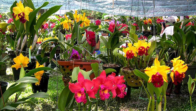 Hoa lan rừng Đà Lạt