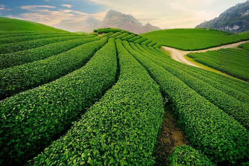 chè của cao nguyên Mộc Châu, những đồi chè xanh ngắt cùng triền cỏ trải dài bất tận,