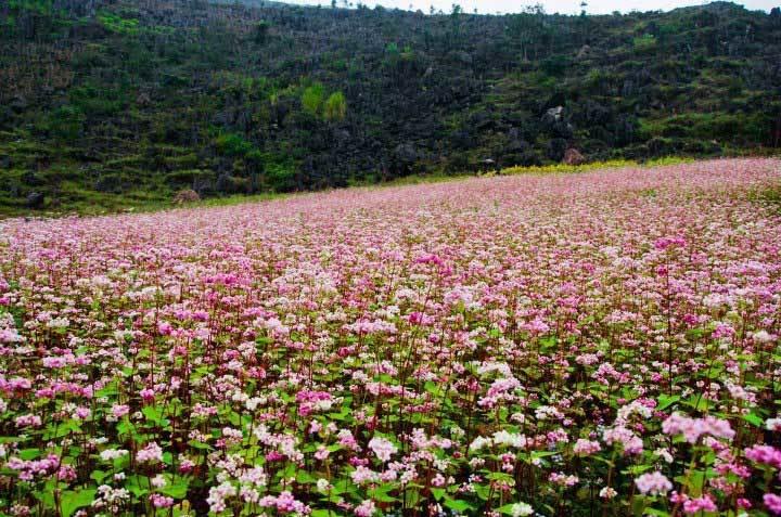 những cánh đồng hoa tam giác mạch đỏ hồng tuyệt đẹp