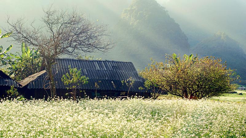 những đồi hoa cải nở trắng xóa,